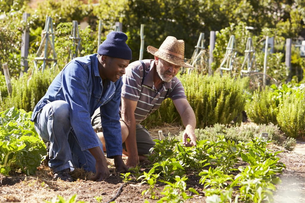 Two Men Working Together On Community Allotment Horticultural Therapy